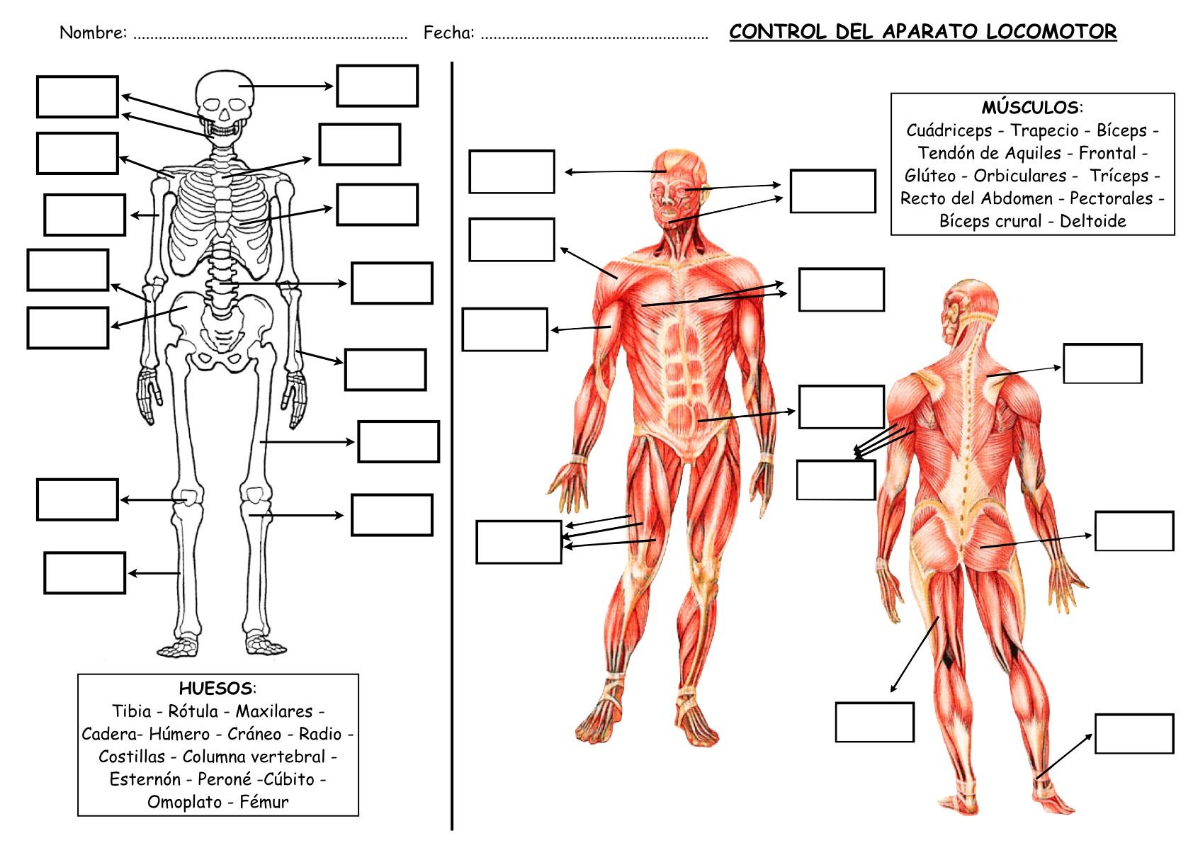 Contemporáneo Páginas Para Colorear Músculos Imagen - Dibujos Para ...