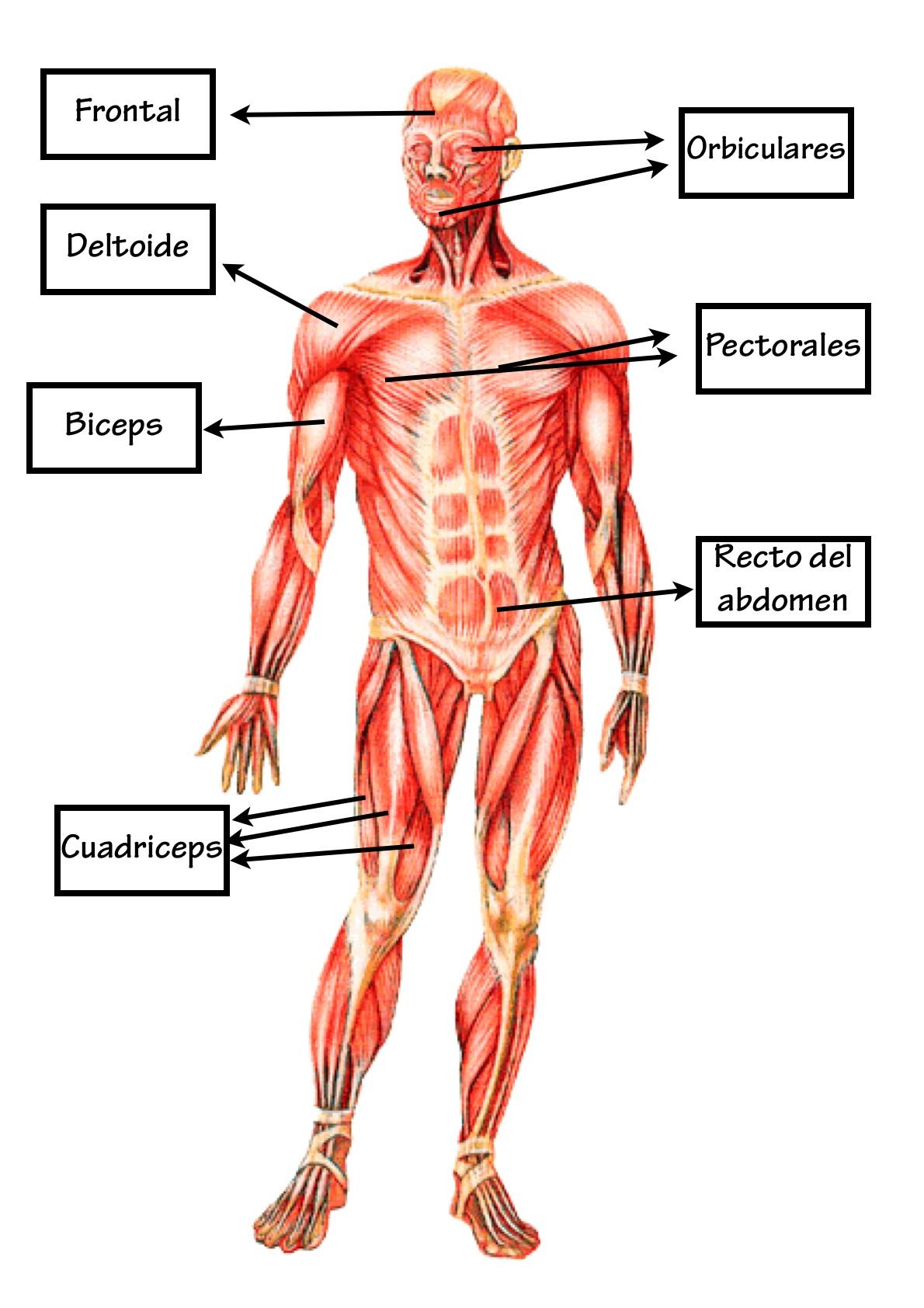 Fantástico Anatomía Colorear Páginas Músculos Ideas - Dibujos Para ...