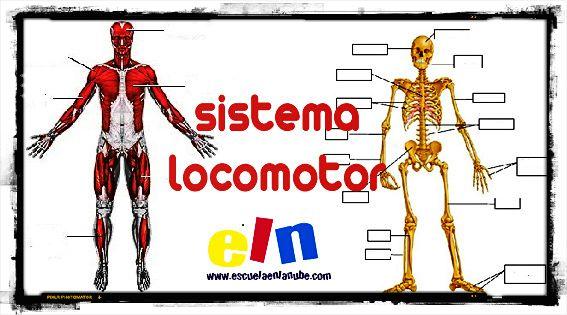 Conociendo el sistema locomotor humano