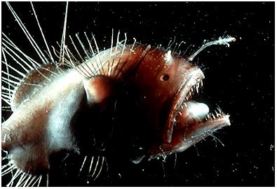 Melanocetusjohnsoni, peces abisales